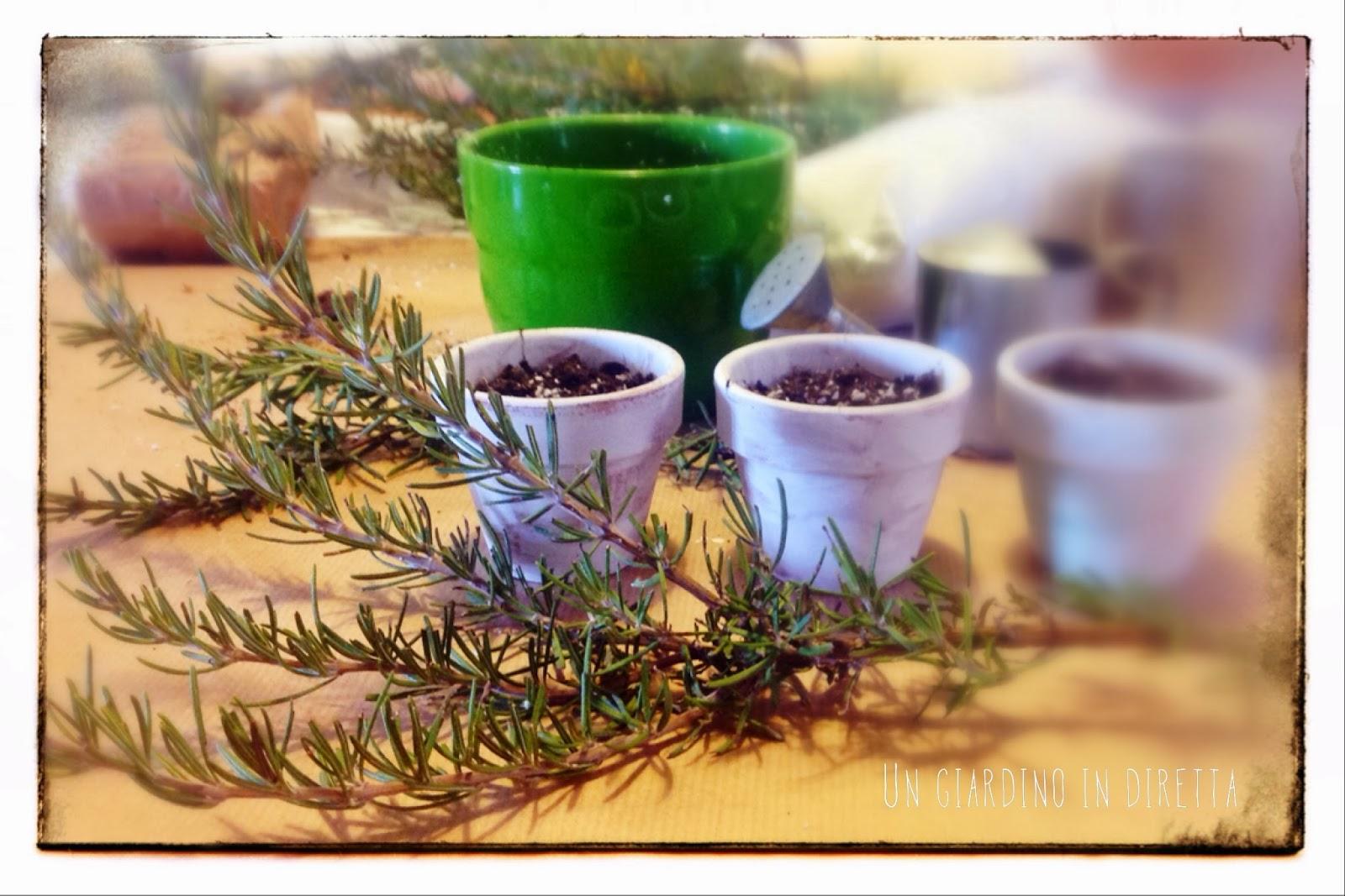 Quando Posso Potare Il Rosmarino piccoli alberi di rosmarino per un natale al verde - un