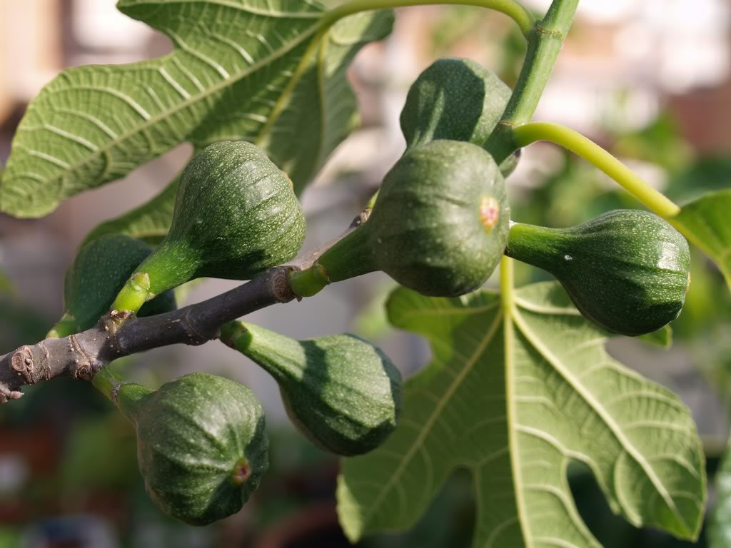 Made In Nature Figs