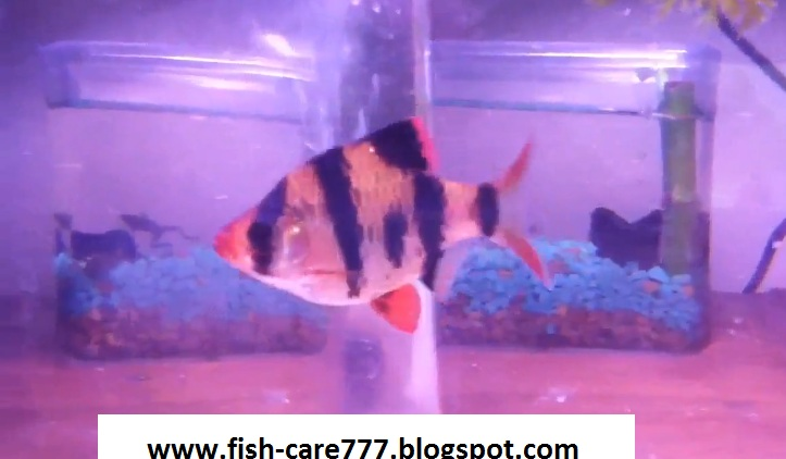 Fish Care How To Distinguish Between Male And Female Tiger Barb
