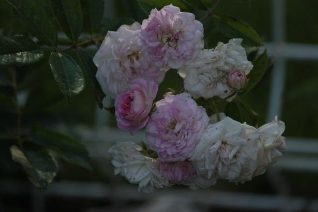 Rose Pink Ghislaine de Feligonde