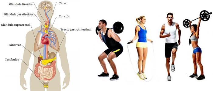 La influencia del sistema endocrino y sus hormonas sobre el rendimiento deportivo