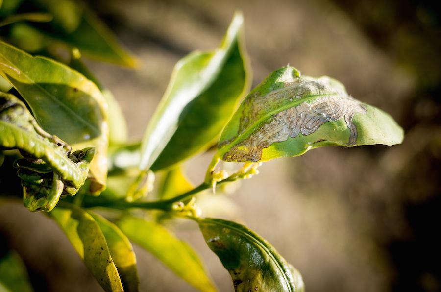 Photoblogue la mineuse des agrumes phillocnistis citrella - La mineuse des agrumes ...