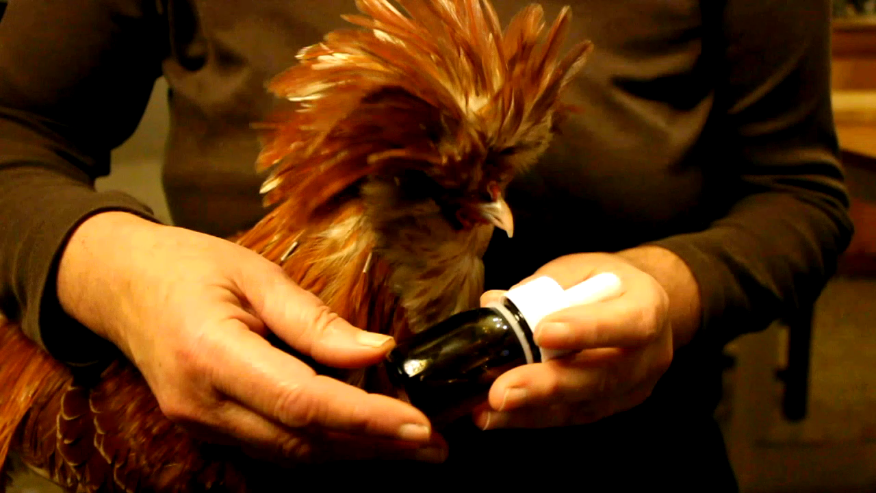 Essential oil for treating lice on a Polish rooster