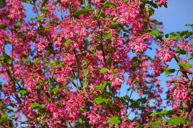 How to grow ribes red flowering currant
