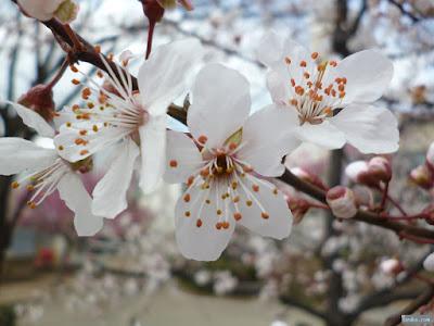 桃園公園の桃の花