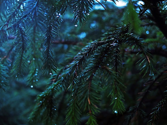 Conifer branches covered in water droplets in the fog in a forest.