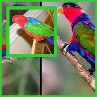 jenis burung nuri yang ada di indonesia dan asalnya