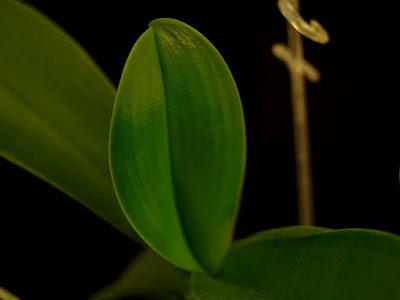 liść storczyka