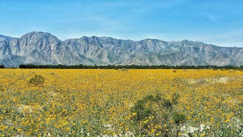 The blooming Flowers of Anza Borrego Desert