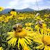 Mundo| Pesticidas representam ameaça às abelhas, confirma agência europeia de segurança alimentar