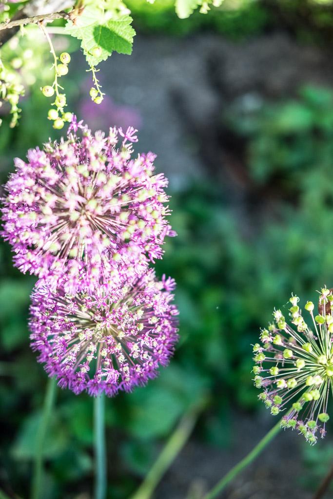 www.fim.works | Lifestyle-Blog | blauer Allium, blühender Zierlauch
