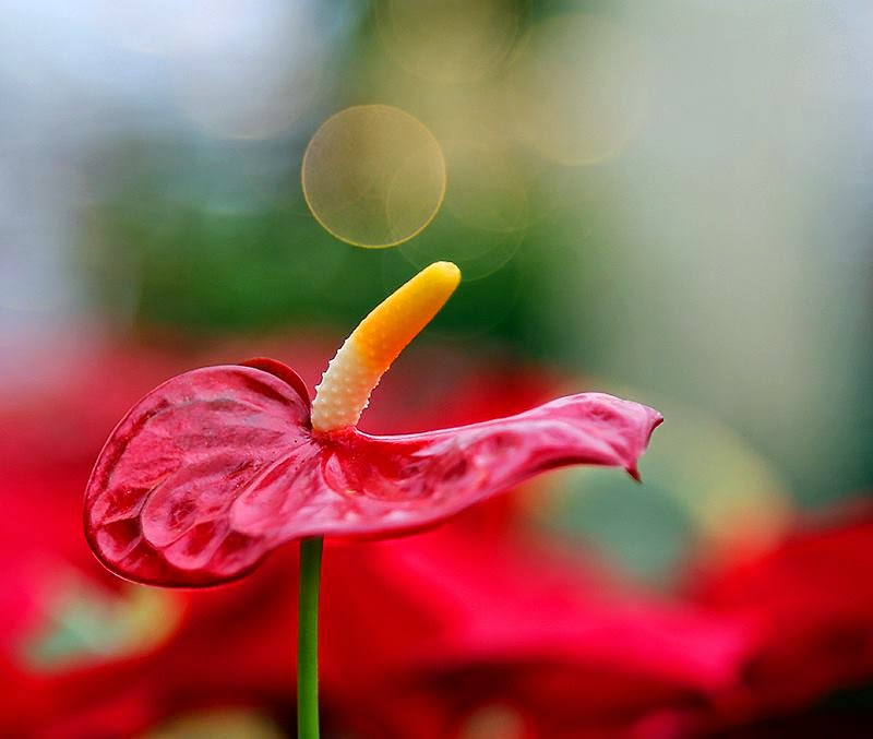 The Heart-Shaped Flower, Anthuriums