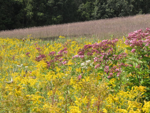 Joe-pye weed, Boneset and Goldenrod