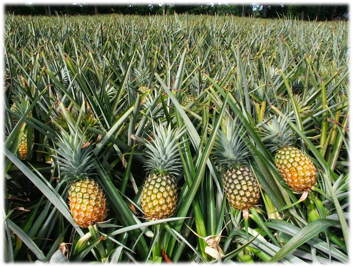 Ananas Nasıl Yetişir? - Enteresan Bilgiler