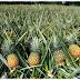 Ananas Nasıl Yetişir?