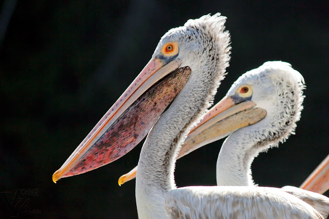 Spot-billed pelican, close up of its colorful bill