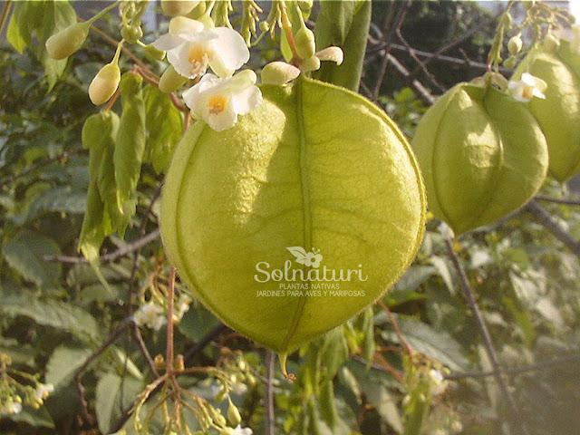 Cardiospermum grandiflorum  Globito cipó