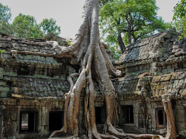 Radici Tetrameles nudiflora in Cambogia