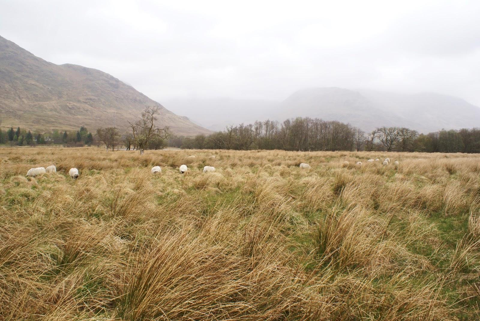 sheep kilchurn castle loch awe highlands scotland uk great britain camomille blend