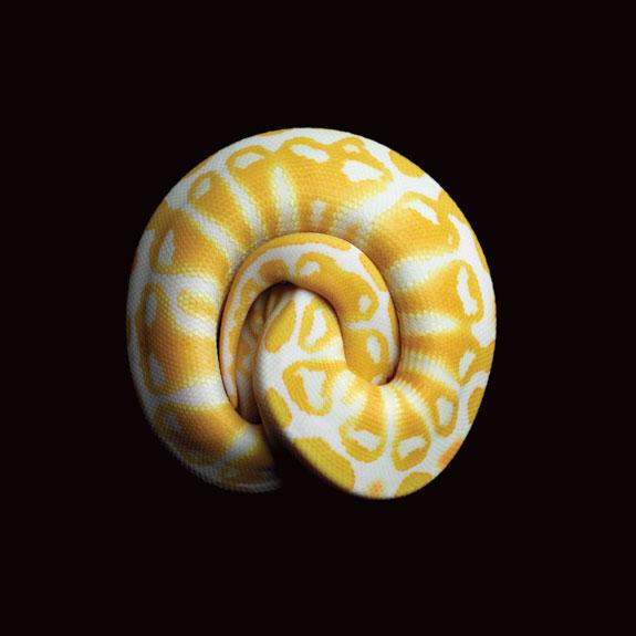 Albino Black Pastel Ball Python