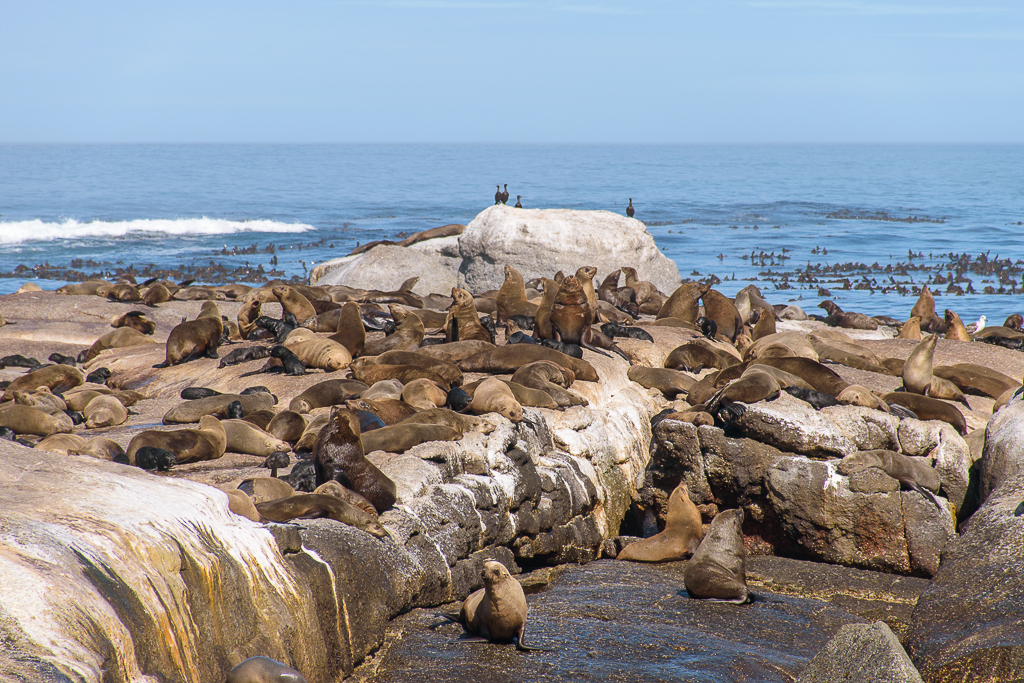 seals lazing around in cape town south africa