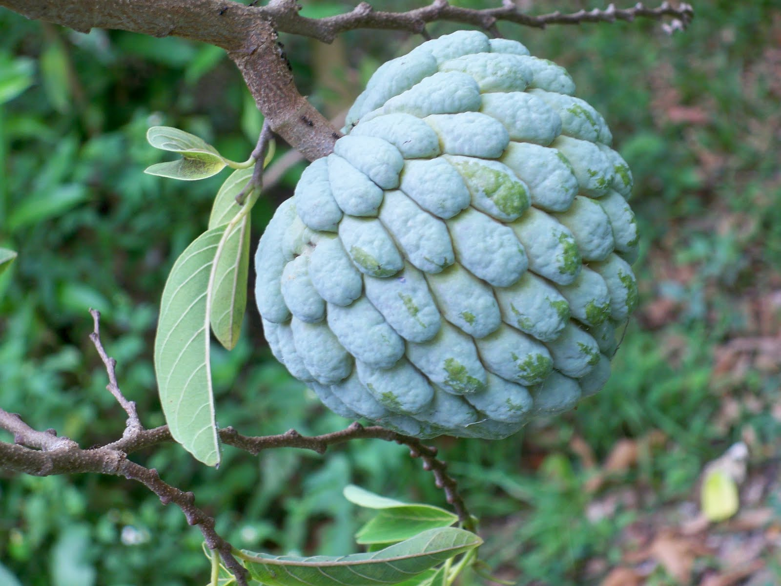 jamaican custard apple - photo #22
