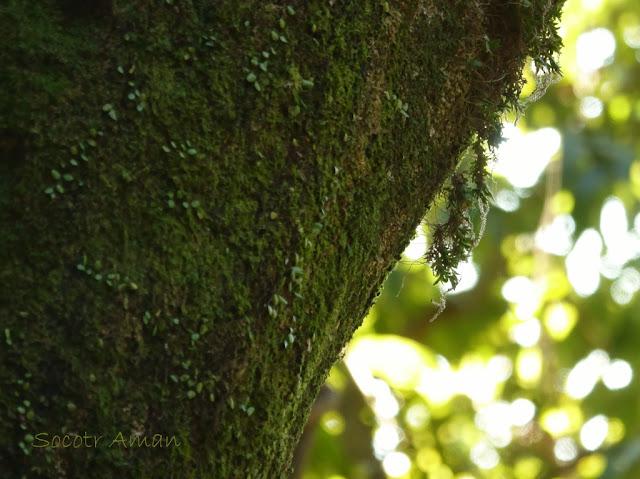Oberonia japonica