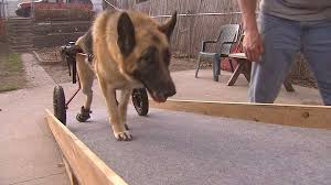 cães com locomoção reduzida