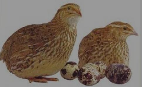 Cara Budidaya Dan Ternak Burung Puyuh Praktis
