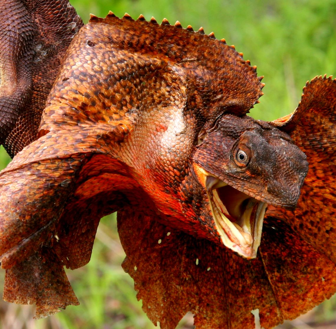 Frilled Lizard Chlamydosaurus Kingii about animals