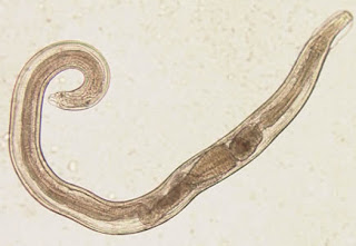 Ciri-ciri Nematoda (cacing gilig) dan contoh spesiesnya
