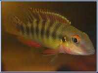 yellow kribensis fish (pelvicachromis humilis) pictures