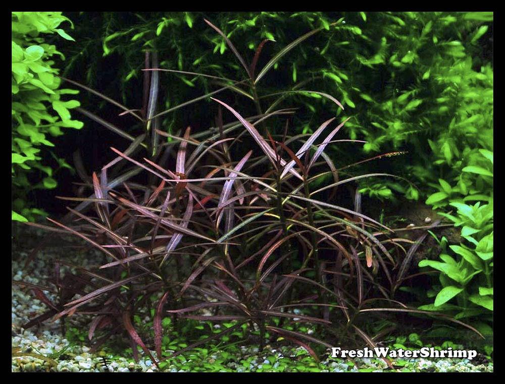 Vẻ đẹp của cây thủy sinh hồ liễu đỏ