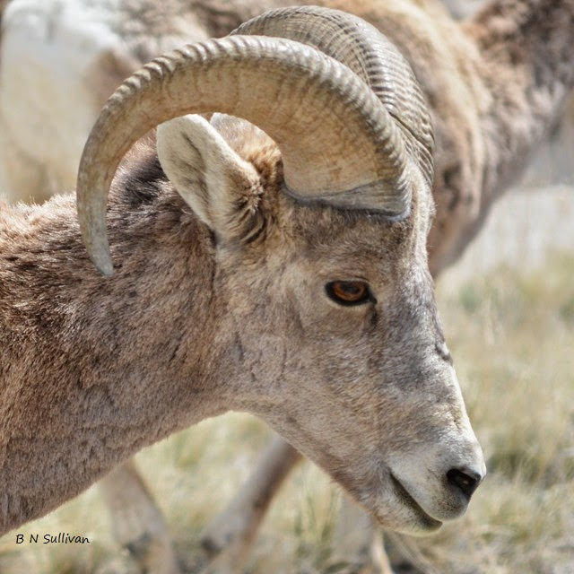Bighorn Sheep ram (Ovis canadensis), South Dakota