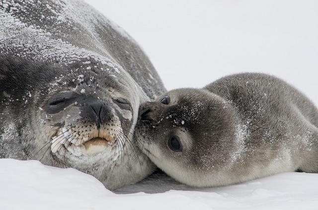 ilustrasi anjing laut