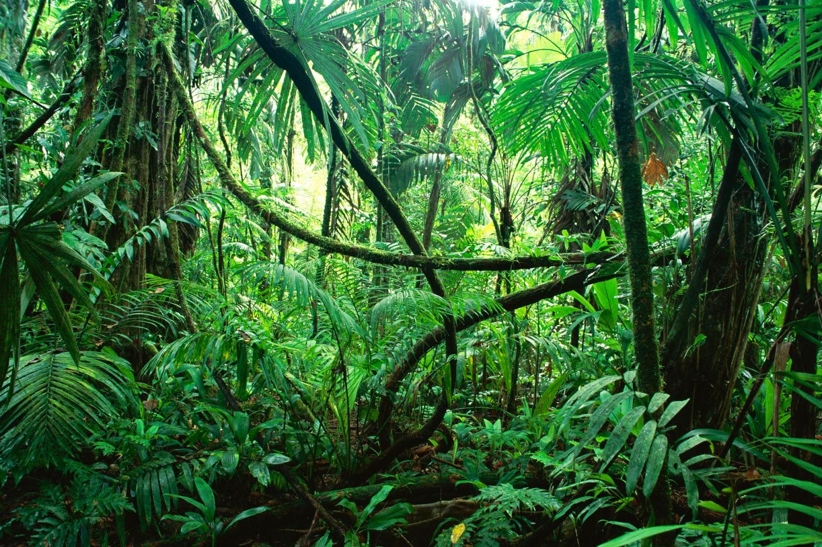 Geografi Lingkungan Rotan Tanaman Merambat Di Hutan Tropis