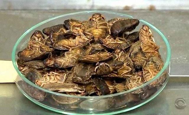 Baratas utilizadas na produção de farinha são criadas em Betim (Foto Reprodução RBS TV).