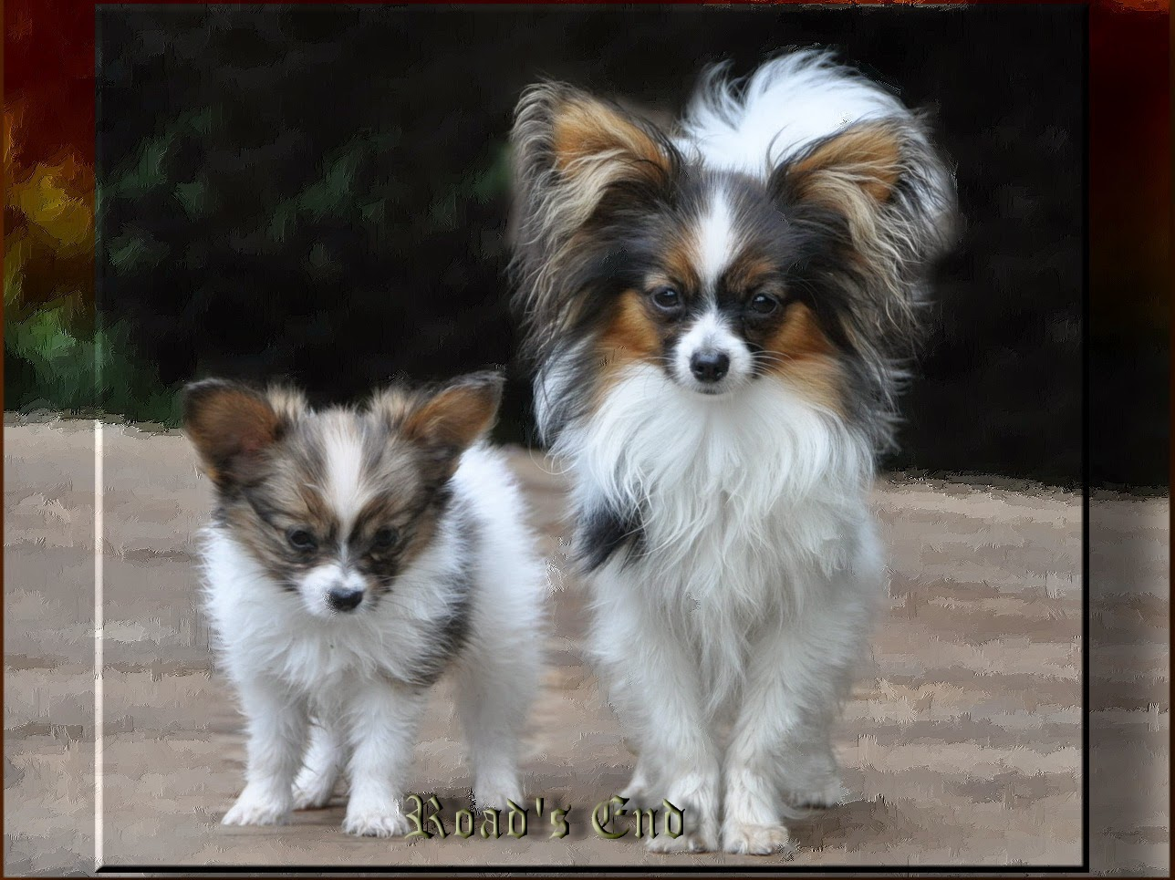 papillion puppies road s end papillons toy dogs small dog breeds vs 5047