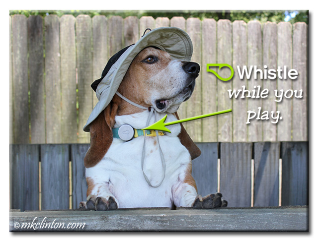 Bentley Basset wearing hat and WhIstle Activity Monitor