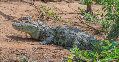Broad snouted Caiman