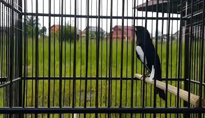 2 Cara Mudah Memaster Burung Kacer Bakalan Yang Sudah Terbukti