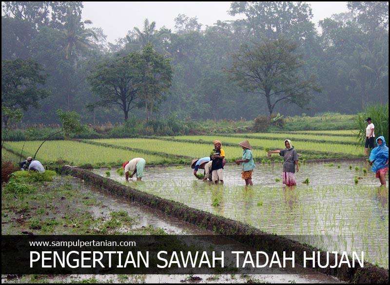 Pengertian Sawah Tadah Hujan