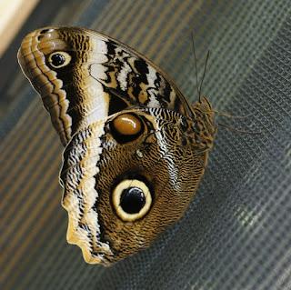 Papillon chouette - Caligo atreus