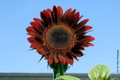 Chianti Hybrid Sunflower Blossom at 76 days on June 2, 2018