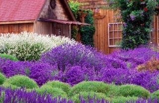 Foto Bunga Lavender Ungu yang Indah 8