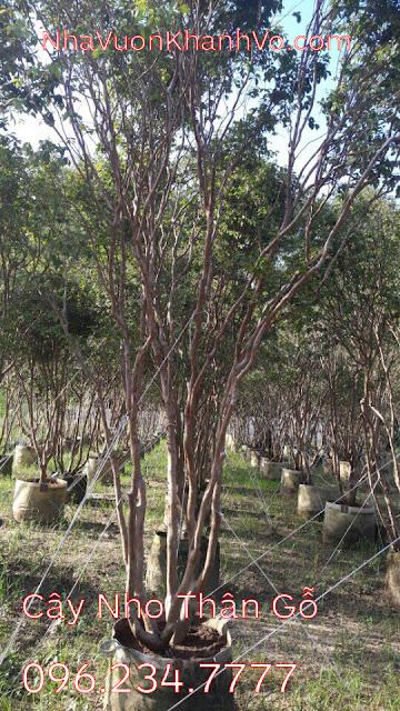 Đăng tin rao vặt: Bán cây giống nho thân gỗ chất lượng Cay-nho-than-go-khanh-vo-2
