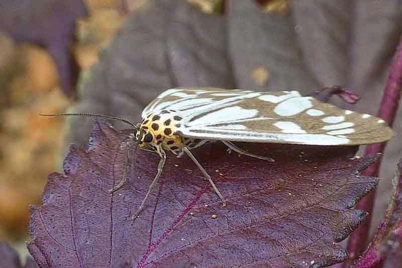 moth, shisa plant