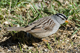 White-Crowned Sparrow. Photo © Shelley Banks; all rights reserved.