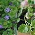 Bluszczyk Kurdybanek- cudowne zioło na wiele dolegliwości. | Usuwa toksyny, leczy trądzik,wspomaga wątrobę...  +Przepisy