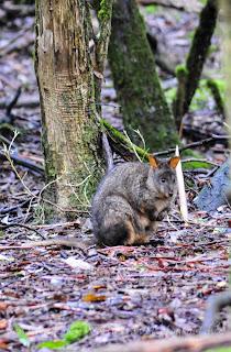 費爾德山國家公園, Mt Field, tasmania, 塔斯曼尼亞, pademelon, 叢林袋鼠